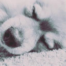 dog nose closeup naptime dogsofpicsart freetoedit