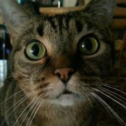 cats catselfie catlovers tabby hazel freetoedit