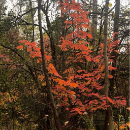 picsart fall autumnleaves autumnvibes redleaf freetoedit