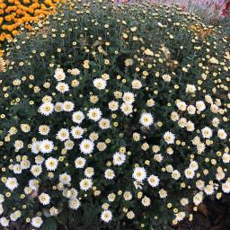 photography nature autumn flowers oktober freetoedit