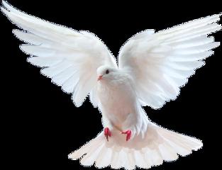 dove bird whitebird purity angel freetoedit