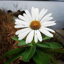 picsart flower white minimal singleflower freetoedit