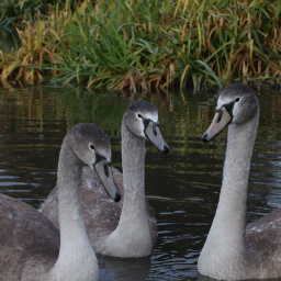 nature swans birds canal closeup freetoedit