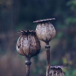 nature poppy closeup seedheads freetoedit