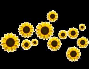girasol girasoles sunflower sunflowers png freetoedit