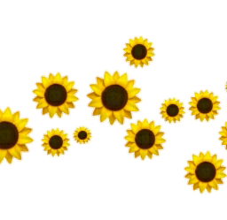 girasol girasoles sunflower sunflowers png freetoedit