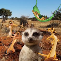 freetoedit timon meerkat lionking cartoon
