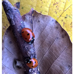 freetoedit followme ladybugs insect insect_perfection