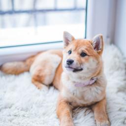 puppy dog dogs pet animal freetoedit