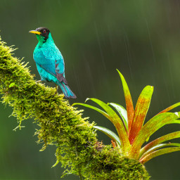 honeycreeper bird tanager nature wild