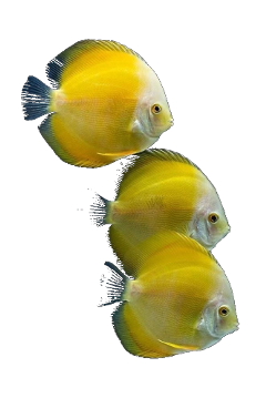 yellow fish ocean aqua marine freetoedit