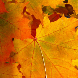 leaves nature autumn background backgrounds freetoedit