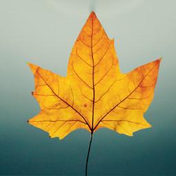 leaf autumn fall background backgrounds freetoedit