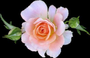 roses rose softpink beautiful freetoedit