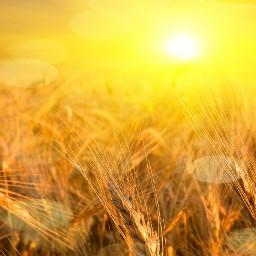 freetoedit wheat sun sunny warm