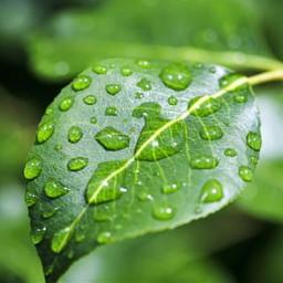 green dew leaf