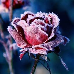rose foryou colddays