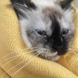 freetoedit tumblr gato cat whitecat