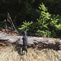 chihuahua dog pet creek curious freetoedit