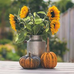 thanksgiving pumpkin sunflowers background backgrounds freetoedit