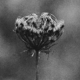 freetoedit photography blackandwhite flower november