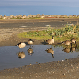 mypic geese reflection freetoedit