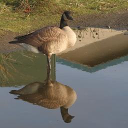 mypic goose reflection freetoedit