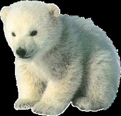 oso polar osopolar polarbear bear freetoedit scpolarbear
