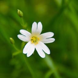 white wildflowers pcwhite