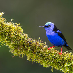 owl bird honeycreeper tanager nature