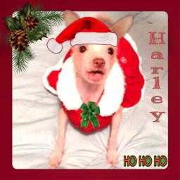freetoedit chinesecrested dogday christmas lolsurprise