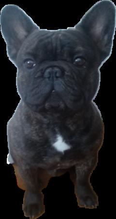 frenchbulldog dog cute freetoedit