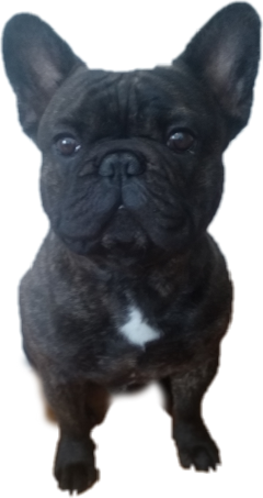 frenchbulldog dog cute freetoedit