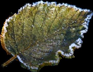 freetoedit scfrozenleaf frozenleaf frost leaf