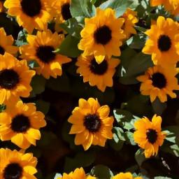 freetoedit sunflowers naturephotography background