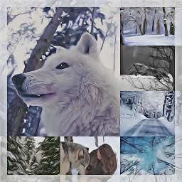 snow wolf wolfs forest winterforest freetoedit ccwintermoodboard wintermoodboard