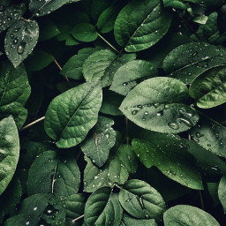 green leaves nature background backgrounds freetoedit
