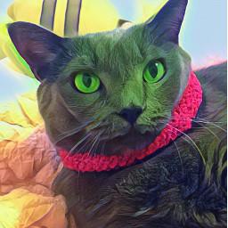 cat russianblue russianbluecat gray graycat