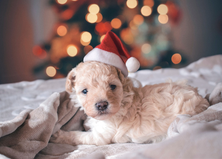 Remix this man's best friend to make him even cuter!	 Unsplash (Public Domain) #christmas #dog #pet #animal #puppy #freetoedit
