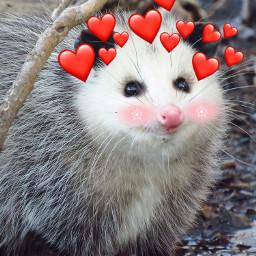 freetoedit опоссум possum cute socute