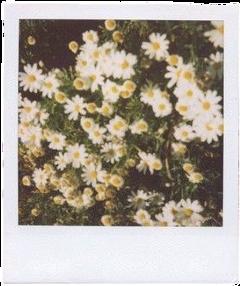polaroid polaroidphoto flowerpolaroid freetoedit
