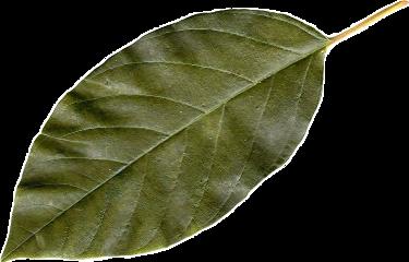 leaf fairy fairyaesthetic nature natureaesthetic freetoedit