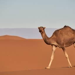 camel animal animals freetoedit