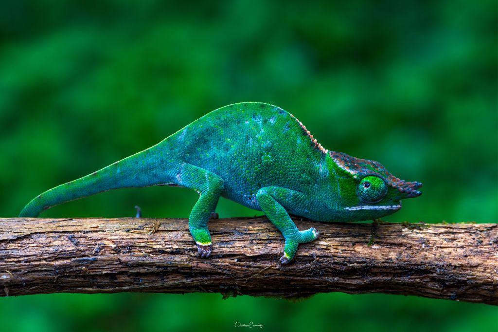 Los camaleones son reptiles solitarios .  Cambia su piel una vez al mes.  Es el unico reptil que puede mover sus dos ojos a la vez en diferentes direciones . Canopy chameleon  Camaleón Canopy  (Furcifer willsii )       #macro_drama #macro_delight #macro_vision #macro_freaks #macro_captures #reptilesofinstagram #chameleonsofinstagram #natgeoyourshot #natgeo #macro_secrets #macroclique #macro_kings #macro_champ #macromania #nature_lovers #nature_good #animal #wildlife_captures #bestnatureshots #allnatural #nature #photography #lizard #nature #animal #colorful #frog #gecko