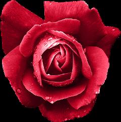 lucymy rosalucymy flowerslucymy wow freetoedit