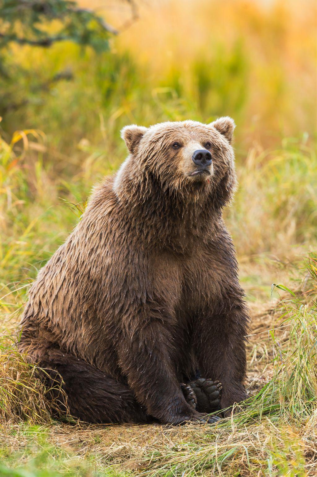 Los músculos de las patas traseras son lo suficientemente fuertes como para que el oso pueda apoyarse únicamente sobre ellas, y hasta le permiten caminar cortas distancias en forma bípeda. Puede alcanzar los 55 kilómetros por hora al correr.  Grizzly bear  Oso grizzly  (Ursus arctos horribilis)       #bear #alaska #wild #nature #wildlife #lemur #animal #wild #wildlife #africa #animal #nature #macro_drama #macro_delight #macro_vision #macro_freaks #macro_captures #reptilesofinstagram #chameleonsofinstagram #natgeoyourshot #natgeo #macro_secrets #macroclique #macro_kings #macro_champ #macromania #nature_lovers #nature_good #animal #wildlife_captures #bestnatureshots #allnatural #nature #photography #lizard #nature #animal #colorful #frog #gecko