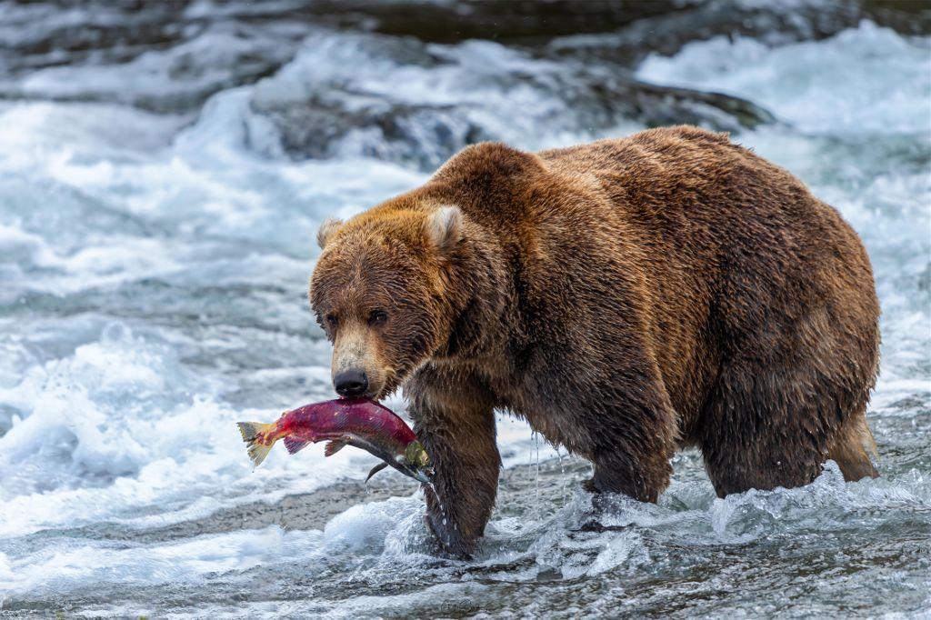 El oso gris es considerado por muchos como el oso más agresivo, incluso entre el resto de los osos pardos. Esto deriva de diversos factores, entre ellos:  Su tamaño y peso les impide escalar árboles para escapar de peligro. Dado que su tasa reproductiva es muy baja, las hembras protegen mucho a las crías. Las hembras con crías son responsables del 70% de los ataques mortales a humanos por osos. Históricamente, el oso ha competido por alimento con otros depredadores grandes, como el oso cavernario.  Grizzly bear  Oso grizzly  (Ursus arctos horribilis)        #bear #alaska #wild #nature #wildlife #lemur #animal #wild #wildlife #africa #animal #nature #macro_drama #macro_delight #macro_vision #macro_freaks #macro_captures #reptilesofinstagram #chameleonsofinstagram #natgeoyourshot #natgeo #macro_secrets #macroclique #macro_kings #macro_champ #macromania #nature_lovers #nature_good #animal #wildlife_captures #bestnatureshots #allnatural #nature #photography #lizard #nature #animal #colorful #frog #gecko#alaska #usa