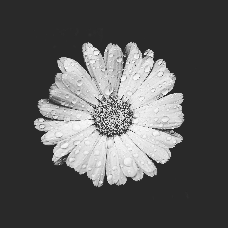 #singleflower #daisy #waterdroplets #nature #darkandlight #monotone #monochromatic #blackbackground #moodyedit #blackandwhitephotography #freetoedit