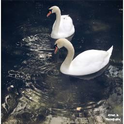 swan whtieswan animal zoo myphoto