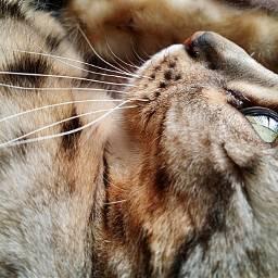 freetoedit catsofpicsart mycat hunter catslover